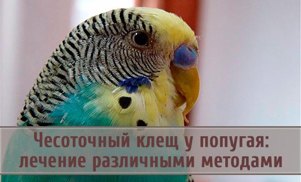 Лечение и профилактика кнемидокоптоза (чесотки) у попугаев