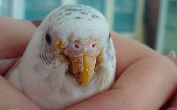 Наросты на клюве попугая