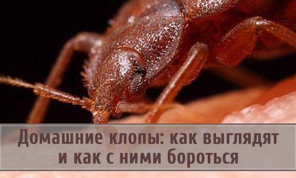 Что собой представляет домашний клоп и методы борьбы с насекомыми