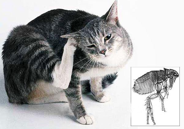 Очень часто блохи терроризируют домашних животных