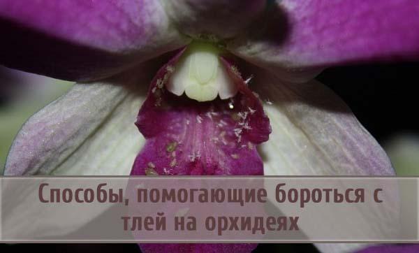 Способы, помогающие бороться с тлей на орхидеях