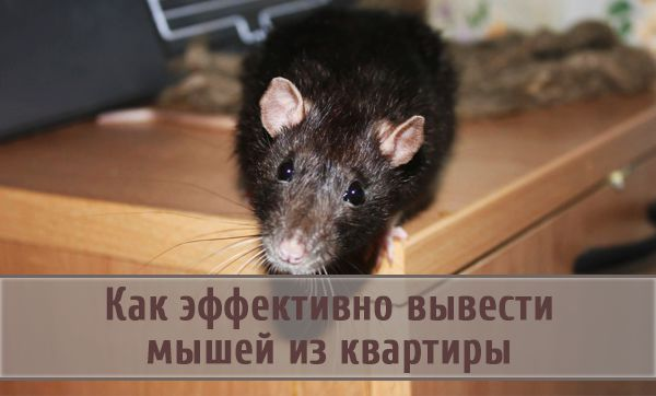 Советы, как эффективно вывести мышей из квартиры