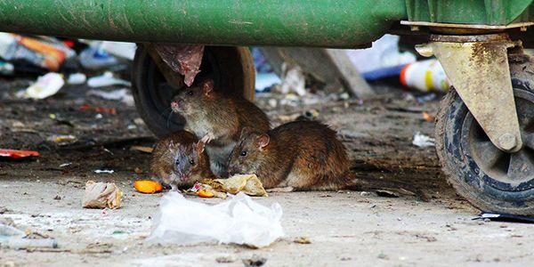 Благоприятная среда для обитания мышей и крыс