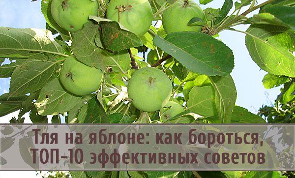 ТОП-10 советов о том, как эффективно бороться с тлей, поселившейся на яблонях