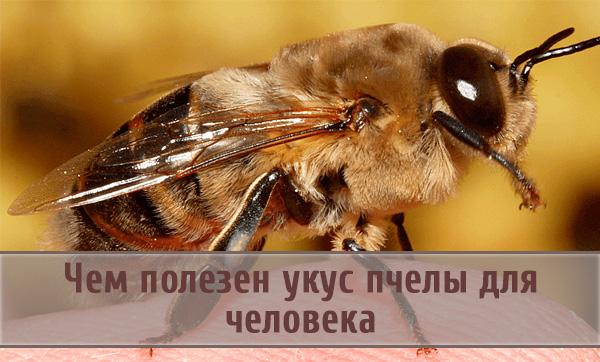 Чем полезен пчелиный укус для организма человека