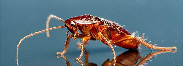 Немецкий рыжий таракан