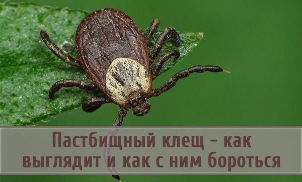 Пастбищный клещ — как распознать такого вредителя растений