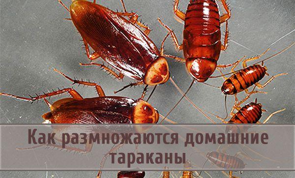 Особенности жизненного цикла тараканов и как они размножаются