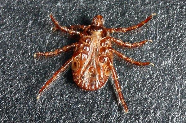 Одна из разновидностей паукообразного