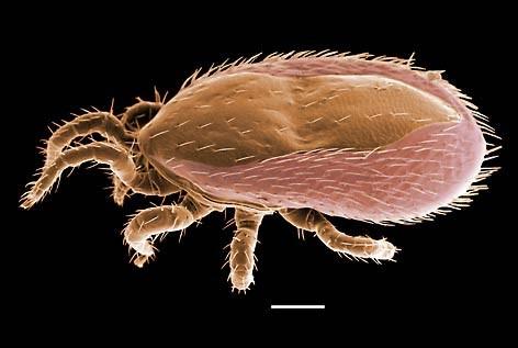 Ornithonyssus bacoti – паразитирует на крысах и мышах