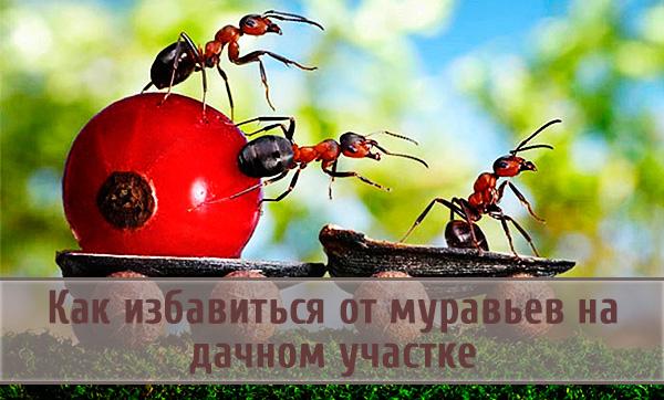Избавляемся от муравьев на дачном участке: домашние и химические средства