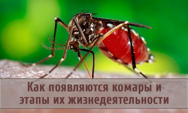 Жизненный цикл комаров и как они появляются на свет