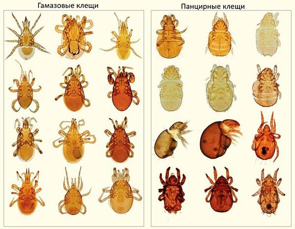 Многообразие типов клещей