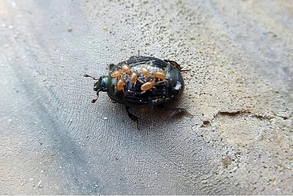 Гамазовая разновидность, паразитирующая на насекомом