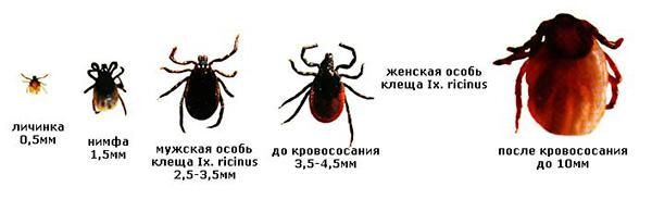 Жизненный цикла паукообразного иксодового паразита