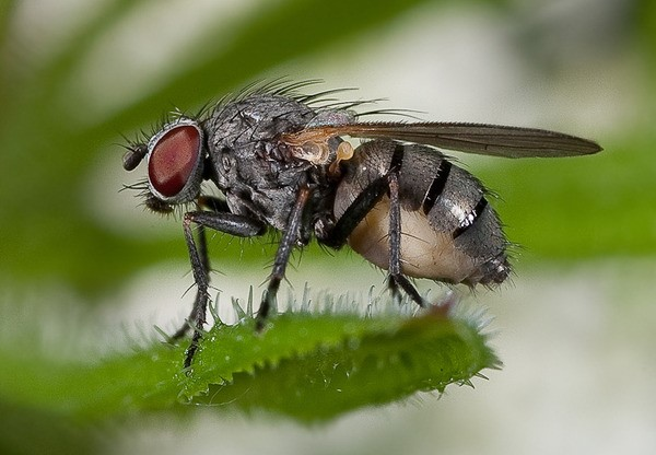 Фото мухи дрозофилы