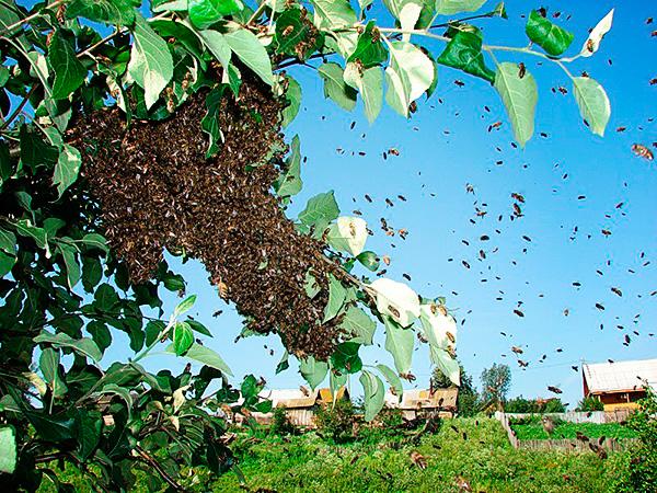 Дикий пчелиный рой на дереве