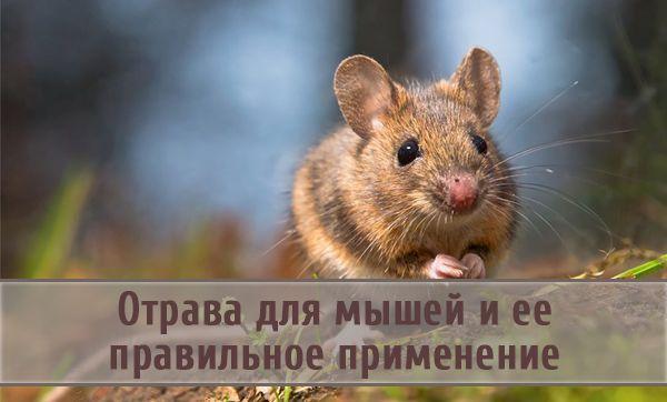Плюсы и минусы применения отравы против мышей в домашних условиях