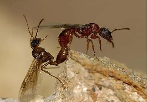 Спаривание насекомых