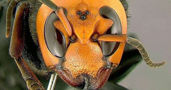 Три дополнительные глаза на голове у азиатского подвида