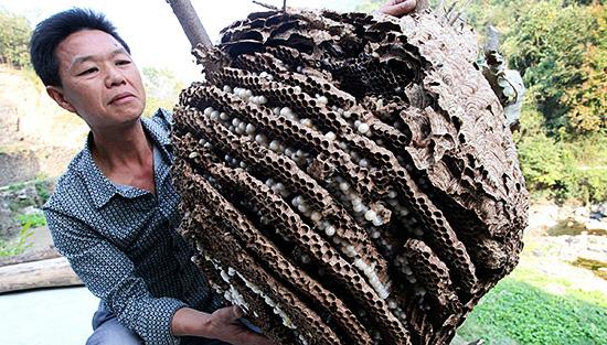 Гнездо гигантского насекомого огромно