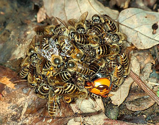 Пчелы, победившие хищника