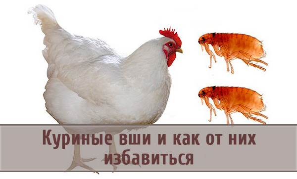 Вши у домашних кур: как выявить и избавиться от паразитов?