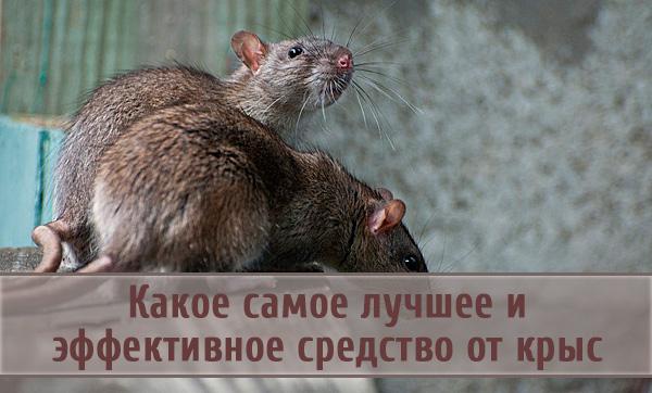 Средства эффективной борьбы с крысами
