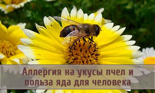 Аллергические реакции на укус пчелы и польза яда