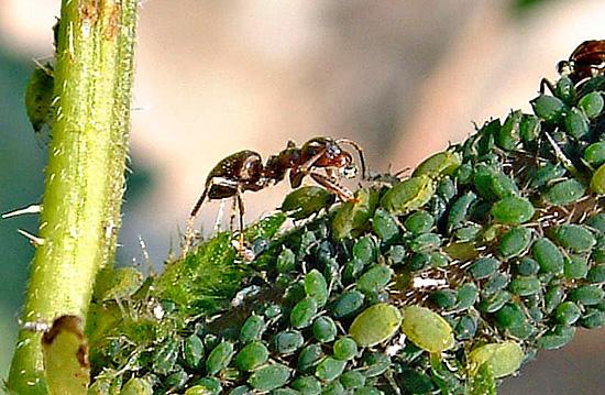 Муравьи «сотрудничают» с тлей, не ограничивая ее популяцию