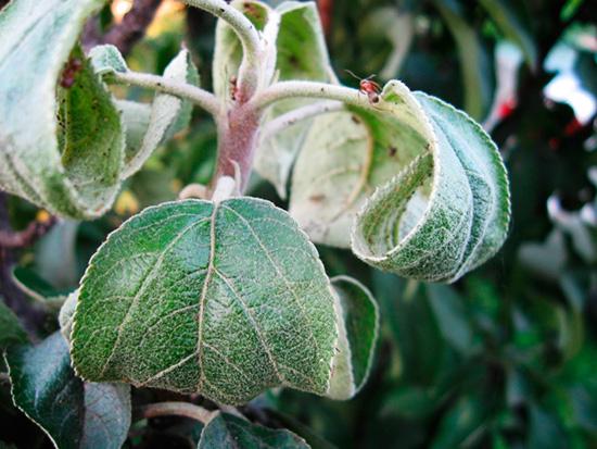Характерное для поражения вредителем скручивание листьев