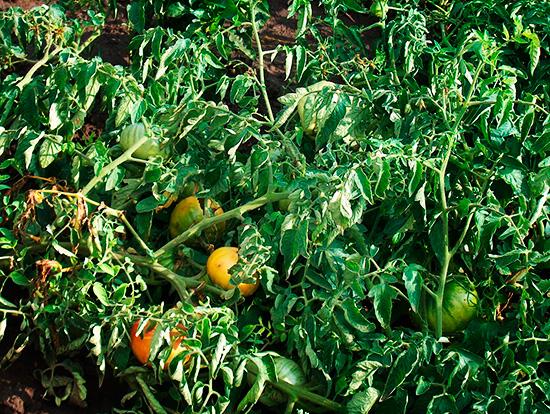 Ботва томатов настаивается и получается отличное средство от вредителя