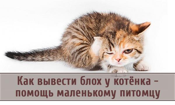 Выведение блох у котенка: как помочь маленькому питомцу