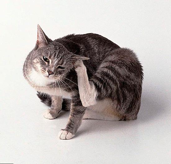 Если кошка постоянно чешет уши, это показатель заражения ушным клещом