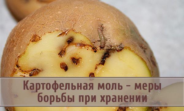 Картофельная моль: эффективные меры борьбы при хранении
