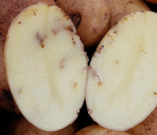Поврежденный клубень картофеля непригоден для посева или в пищу
