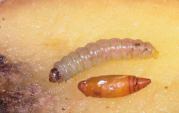 Личинка фторимеи очень мала, но приносит массу вреда