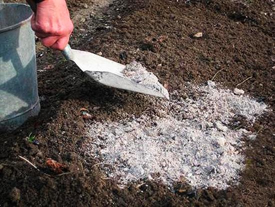 Древесная зола удобряет почву и помогает уничтожить вредителя