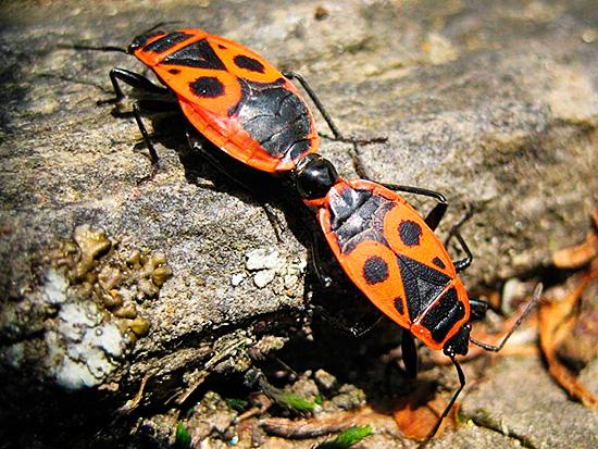 Красноклопы активно размножаются, а их личинки повреждают урожай