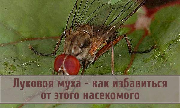 Способы профилактики и борьбы с луковой мухой