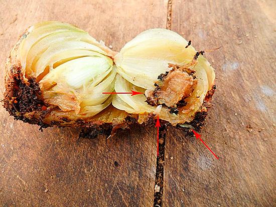 Личинки видны и внутри луковицы