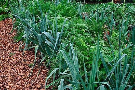 Предотвратит появление вредителя чередование грядок луковичных растений с морковными