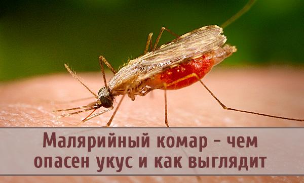 В чем опасность от укуса малярийного комара