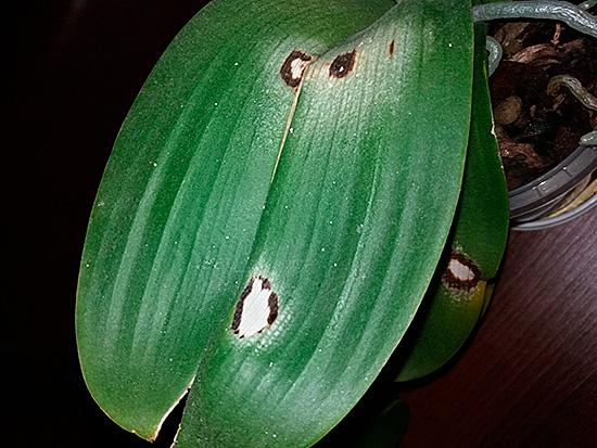 Грибные комарики портят грунт, растение болеет и погибает