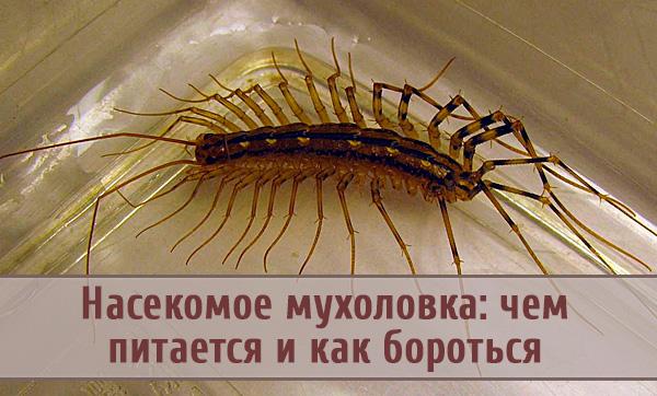 Насекомое многоножка-мухоловка: чем питается, как бороться