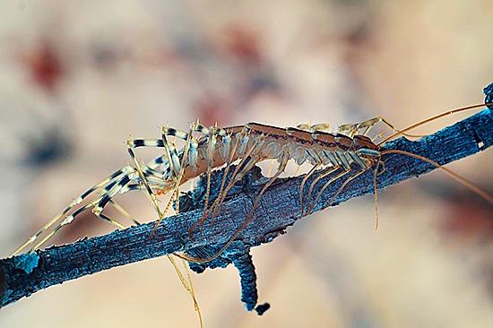 В природных условиях многоножка питается мелкими насекомыми