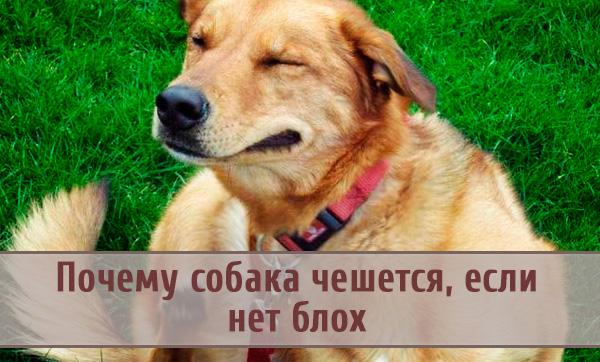 Почему может чесаться собака, если нет блох