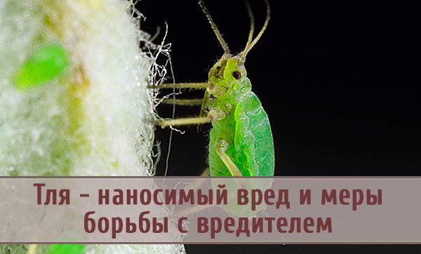 Вред, наносимый тлей растениям, и меры борьбы с вредителем