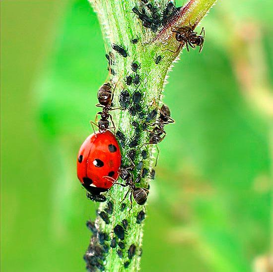Несмотря на сопротивление муравьев, божья коровка не прочь полакомиться