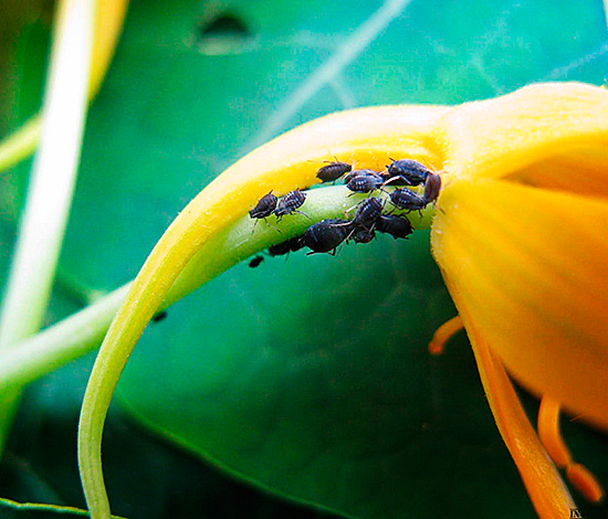 Паразит повреждает и комнатные растения
